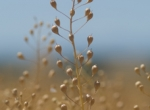 Renewable feedstock used in producing aviation biofuel includes the camelina ...